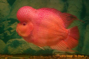 flowerhorn_picture