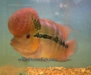 flowerfish-1