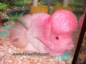 flowerhorn large