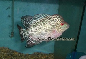 flowerhorn fish small