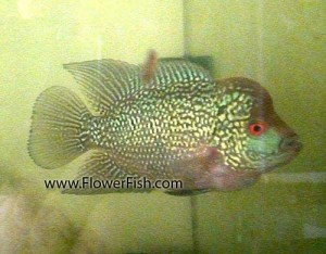 flowerhorn small fish
