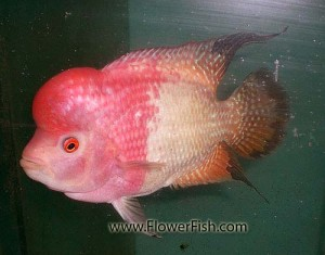 medium size flowerhorn